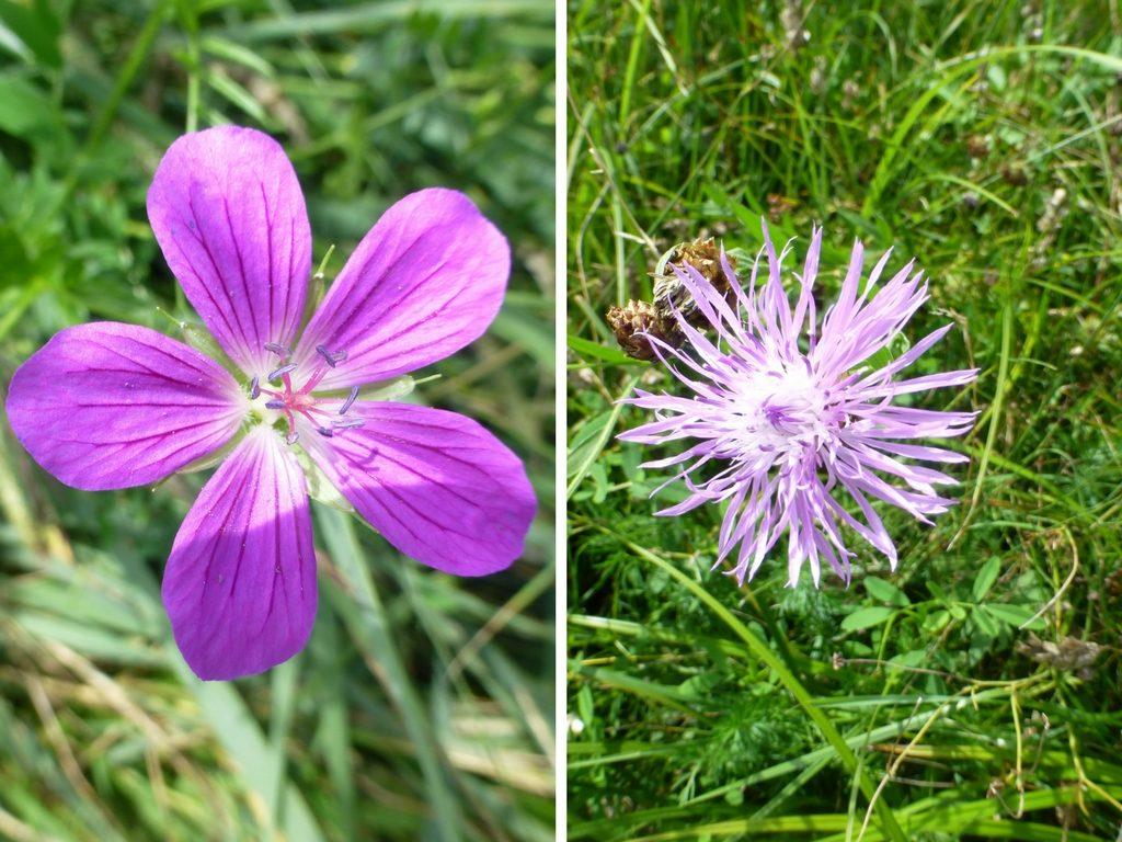 Links ein Storchschnabel (ich nehme an ein Sumpf-Storchschnabel), rechts eine Flockenblumen (evtl. eine Skabiosen-Flockenblume)