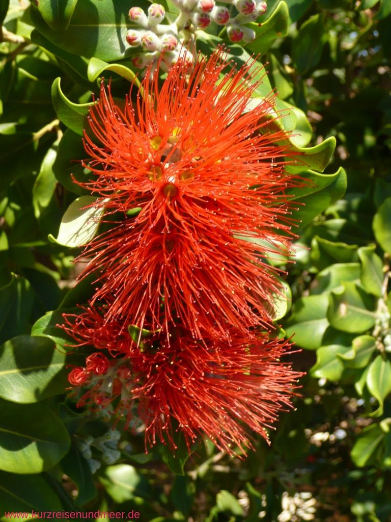 Die Blüte sieht so aus, als ob man mit ihr Gläser spülen könnte. In English heißt die Pflanze daher auch bottlebrush, in deutsch Zylinderputzer